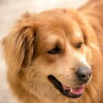 Goldador - Golden Labrador