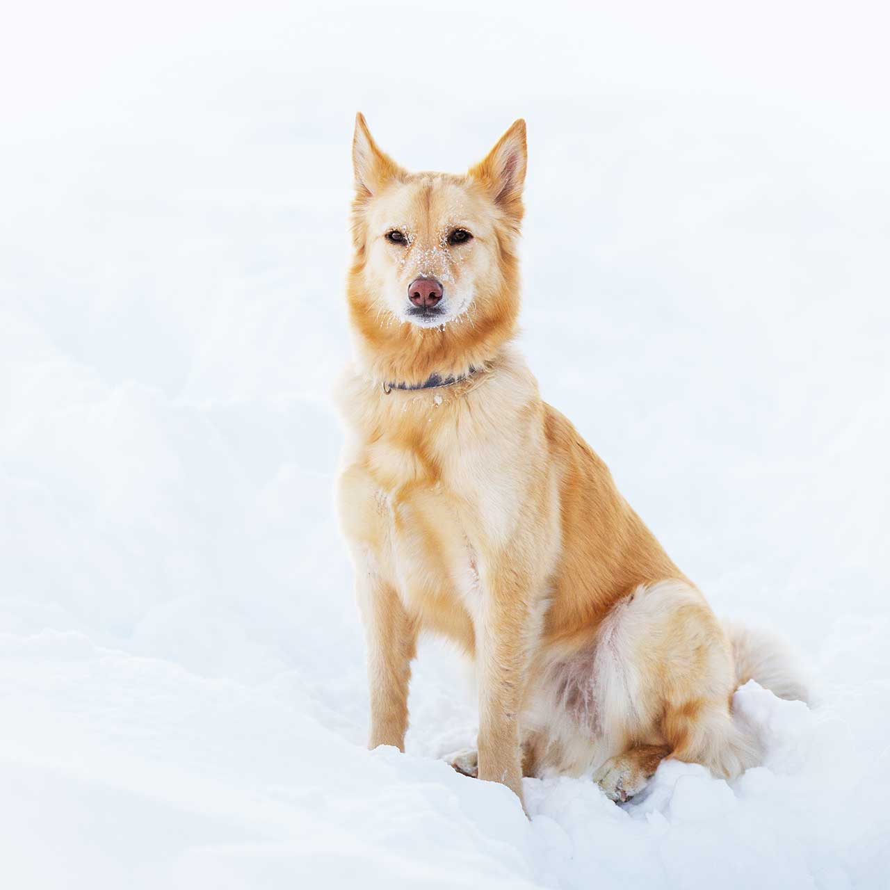 List of Solid Gold Dog Breeds with Pictures
