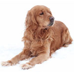Golden Cocker Retriever Dog Breed