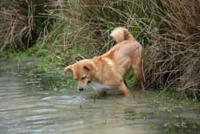 Golden Collie in Water