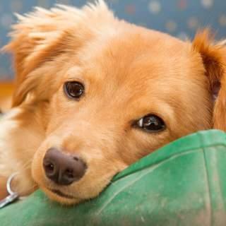Golden Dox Puppy (Golden Retriever Dachshund Mix)