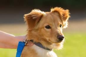 Golden Dox Puppy
