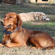 Golden Irish Dog Breed