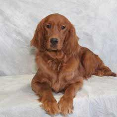 Golden Irish Dog Breed Information