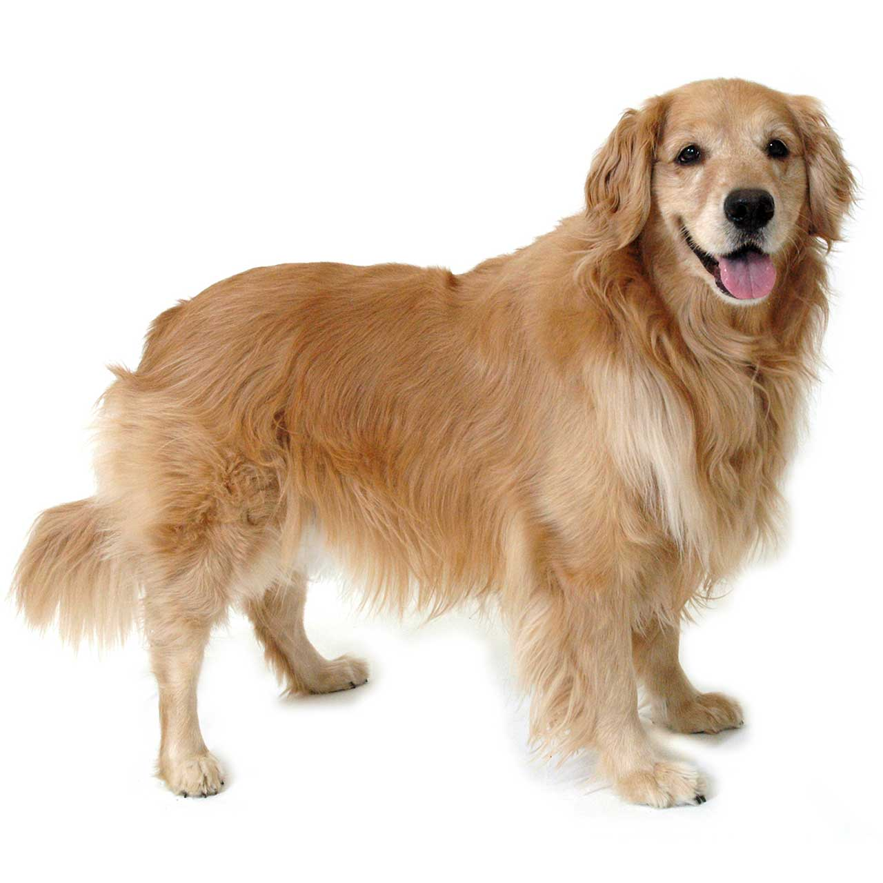 Golden Retriever Dog Breed » Information, Pictures, & More