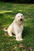 Cream Goldendoodle