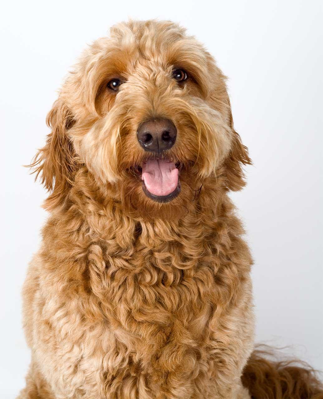 Goldendoodle Size