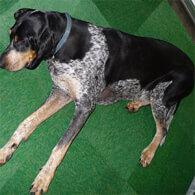 Grand Bleu De Gascogne Dog Breed
