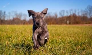 Great Dane Puppy Running