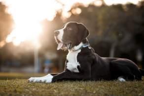 Great Dane Resting Outside