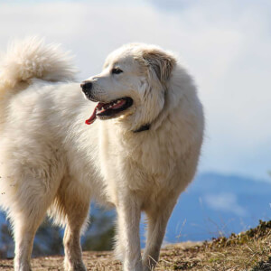 Great Pyrenees Vs Maremma Sheepdog Complete Breed Comparison