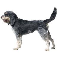 Griffon Bleu De Gascogne Dog Breed