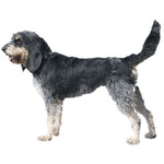 Griffon Bleu De Gascogne Dog Breed