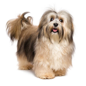 Havachon Dog Breed » Information, Pictures, & More