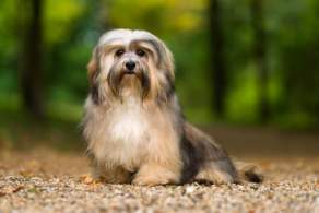 Fawn Sable Havanese on a Forest Road