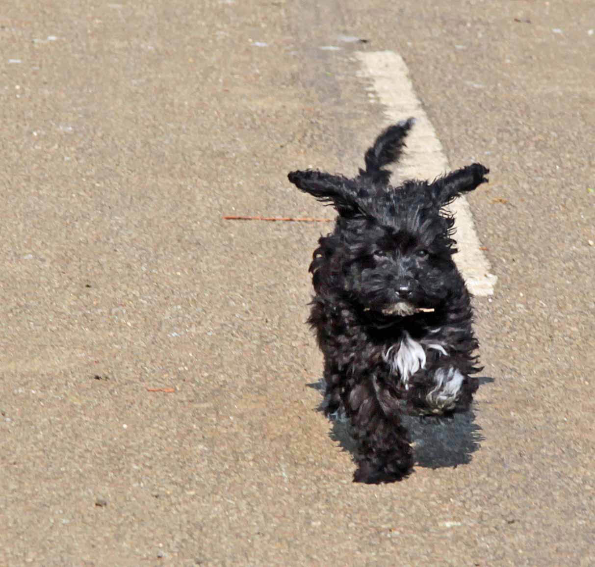 Havapoo Poovanese Dog Breed 187 Poodle Havanese Mix