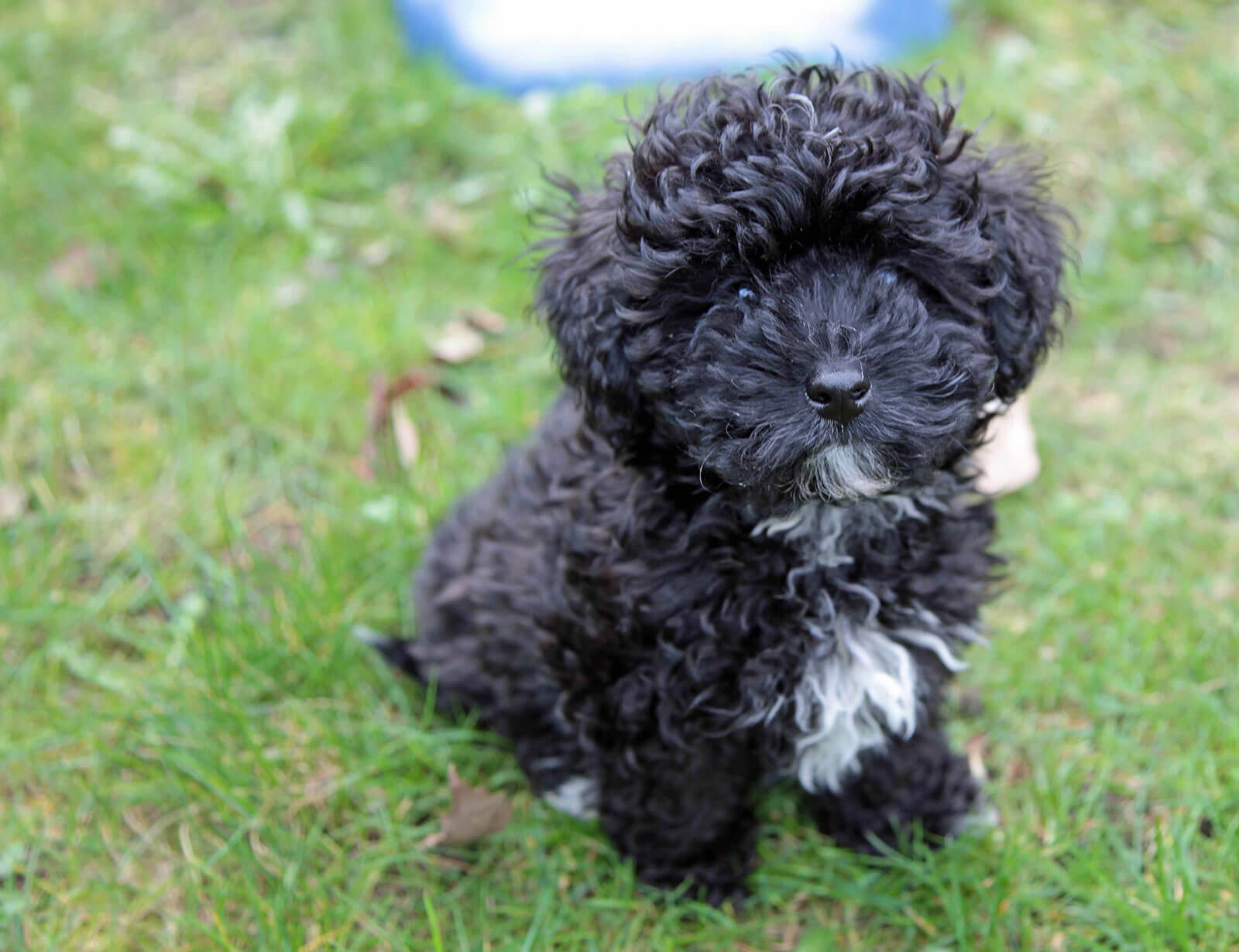 Small Black Dog Breeds With Curly Hair
