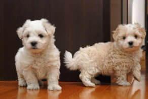 Havaton Dog Breed