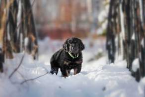 Black & Gold Hovawart Puppy