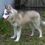 Huskimo Dog Breed