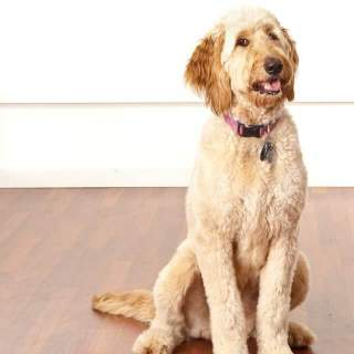 Irish Doodle Dog Breed » Information, Pictures, & More