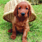 2 Month Old Irish Setter Puppy