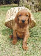 2 Month Old Irish Setter Puppy