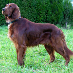 Adult Irish Setter