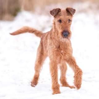Red Wheaten Irish Terrier Walking in the Snow
