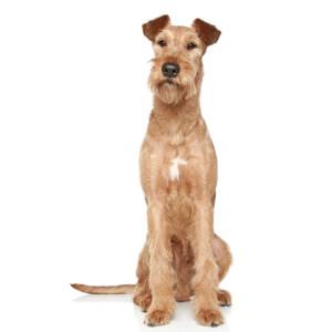 Wheaten Irish Terrier