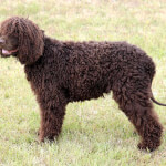 Brown Irish Water Spaniel