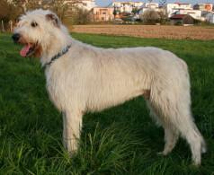 Cream Irish Wolfhound
