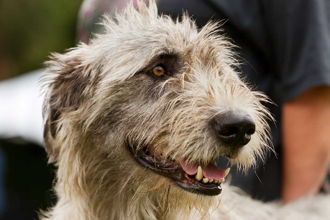Irish Wolfhound Dog Breed 187 Information Pictures Amp More