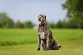 Irish Wolfhound Resting Outside