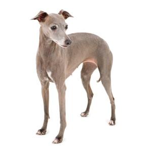Blue & Fawn Italian Greyhound