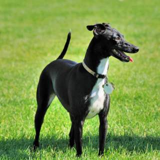Black & White Italian Greyhound
