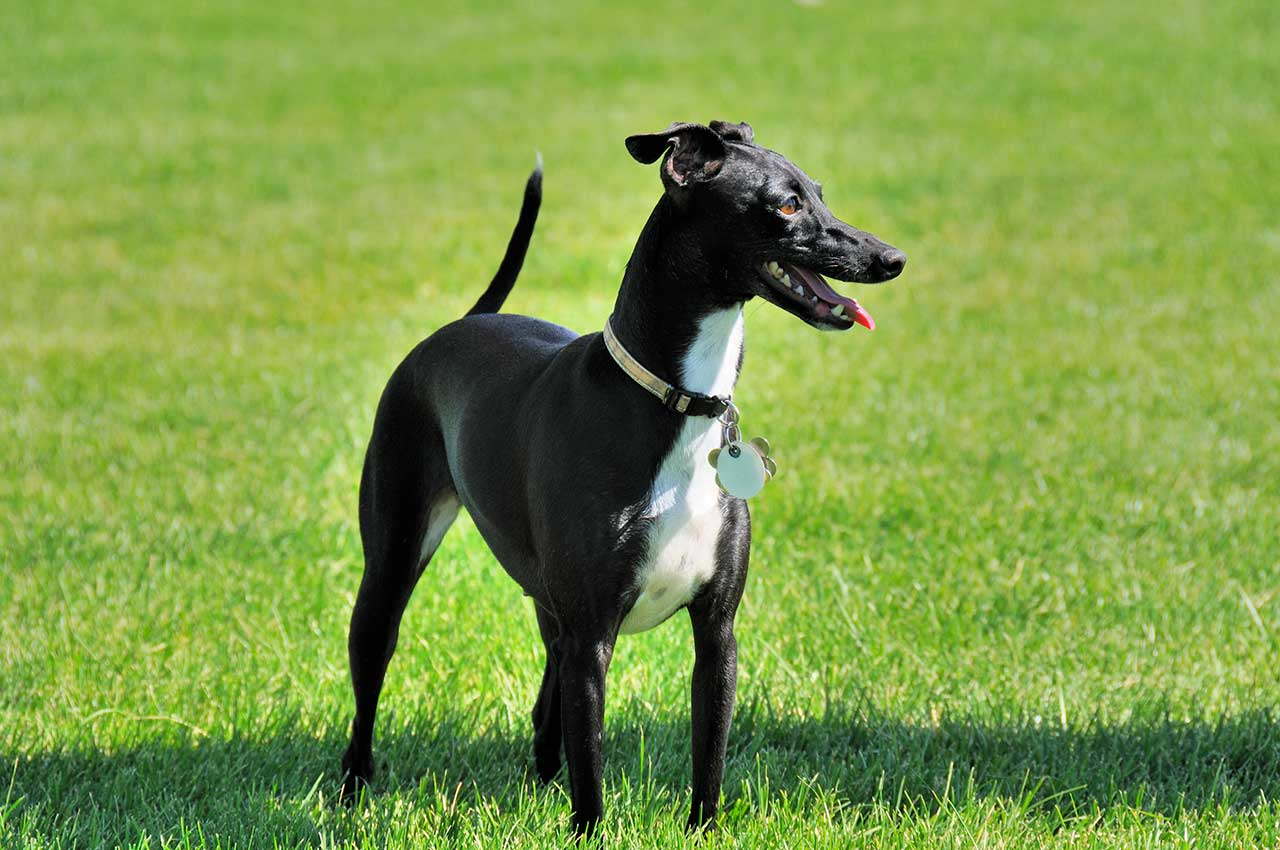 Italian Greyhound Dog Breed » Everything About Italian ...