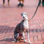 White & Blue Italian Greyhound