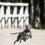 Italian Greyhound Running