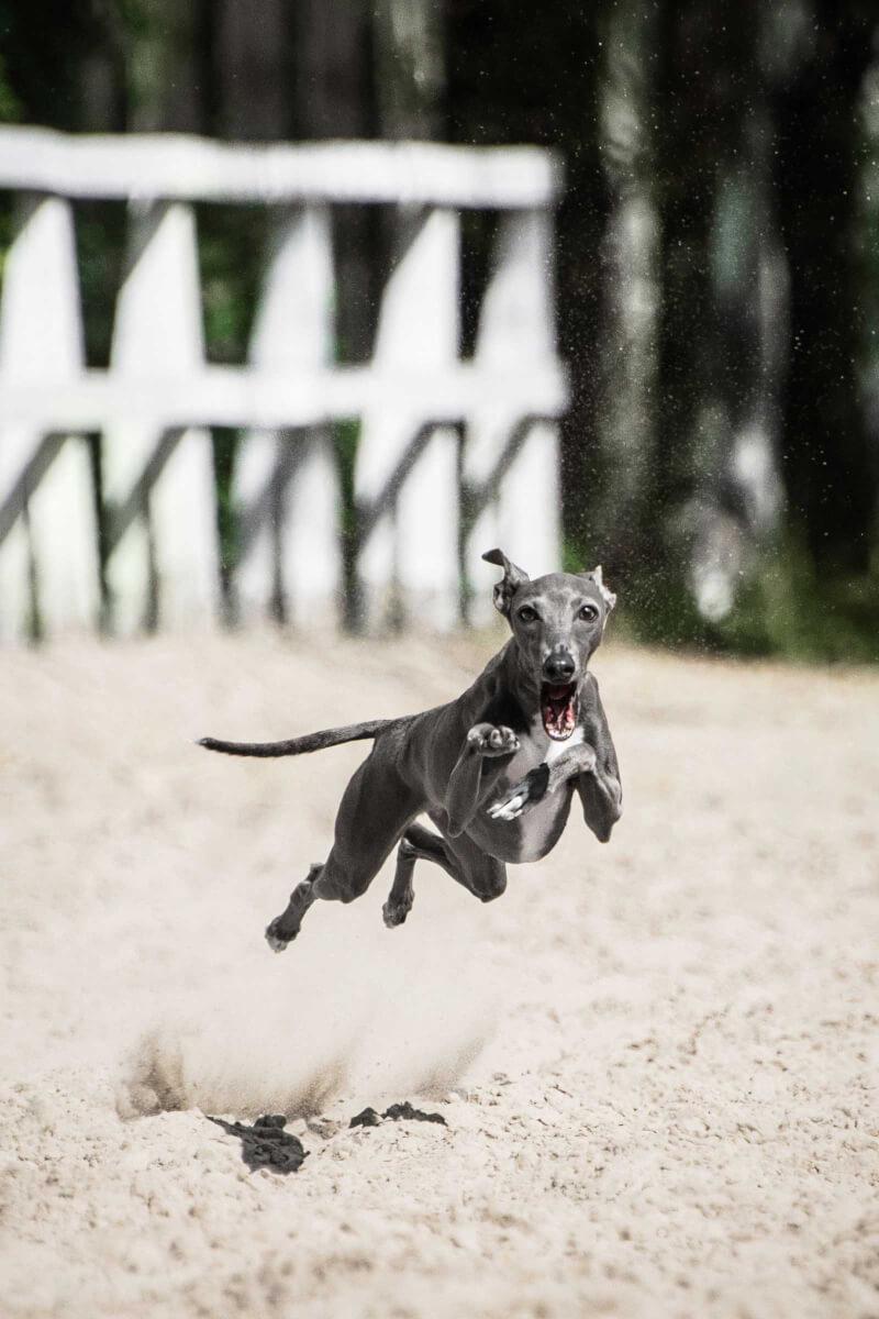 Italian Greyhound Dog Breed » Everything About Italian ...