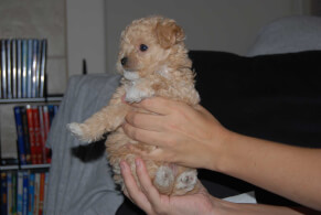 Tan Jack-A-Poo Puppy