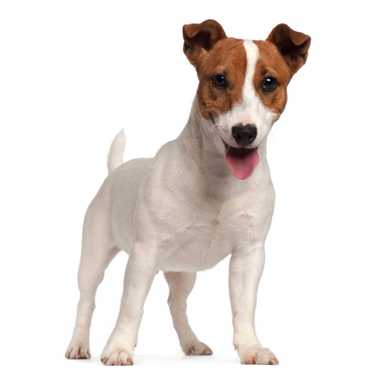 russell terrier breed jack russell terrier dog breed 187 information pictures more 9083