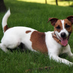 White & Brown Jack Russell Terrier