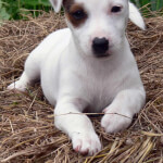 White & Brown Jack Russell Terrier Puppy