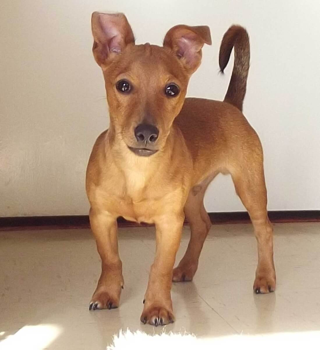 Jackshund Dog Breed Everything About Jack Russell Dachshund Mixes