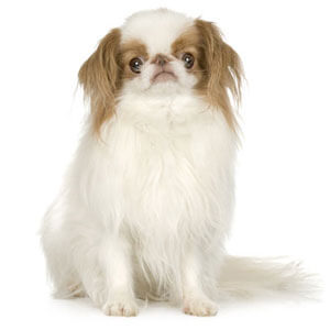 Lemon & White Japanese Chin