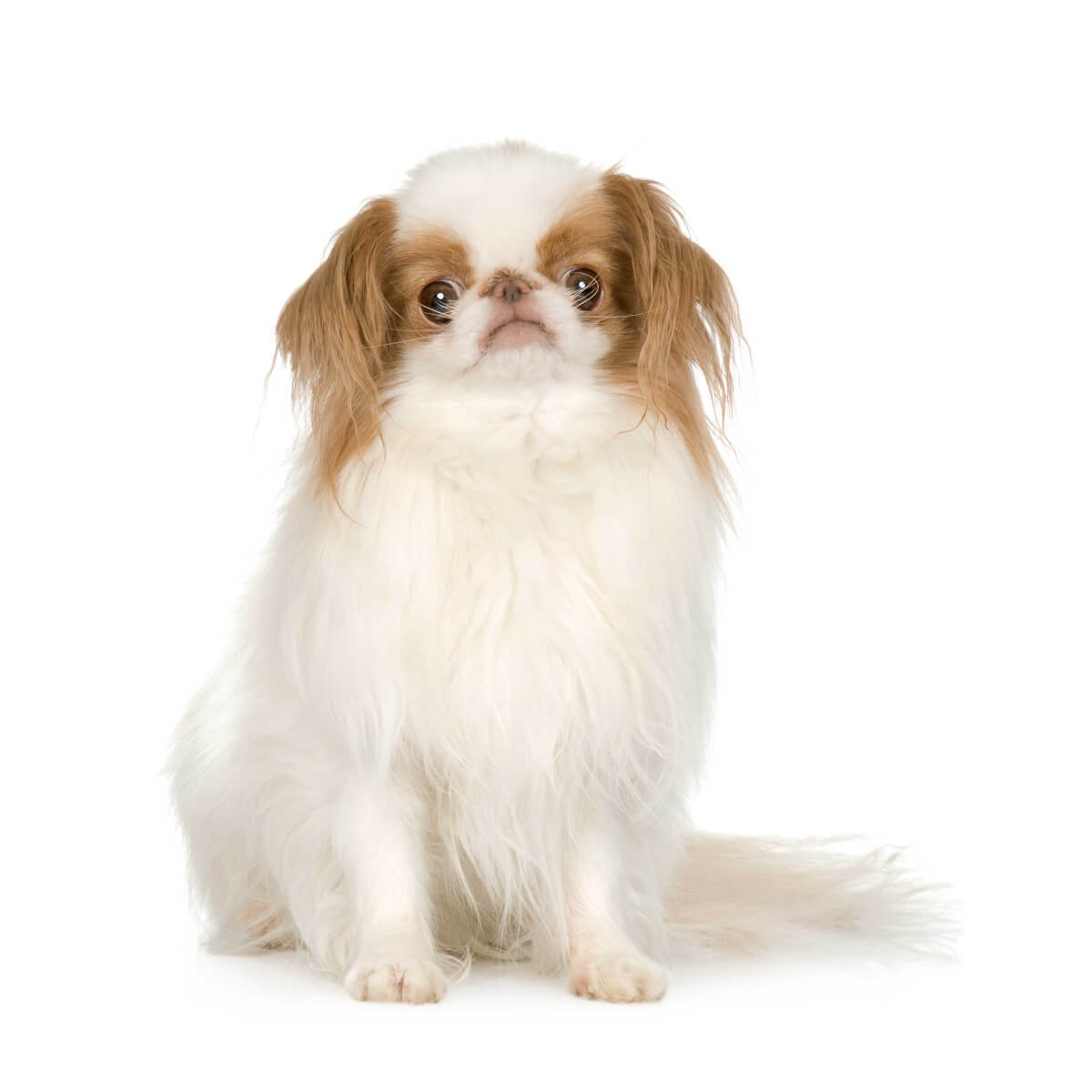 Japanese Chin Dog Breed » Information, Pictures, & More