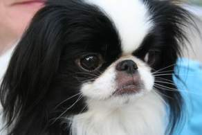 Black & White Japanese Chin