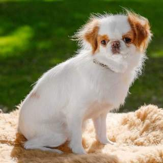 Japanese Chin Sitting