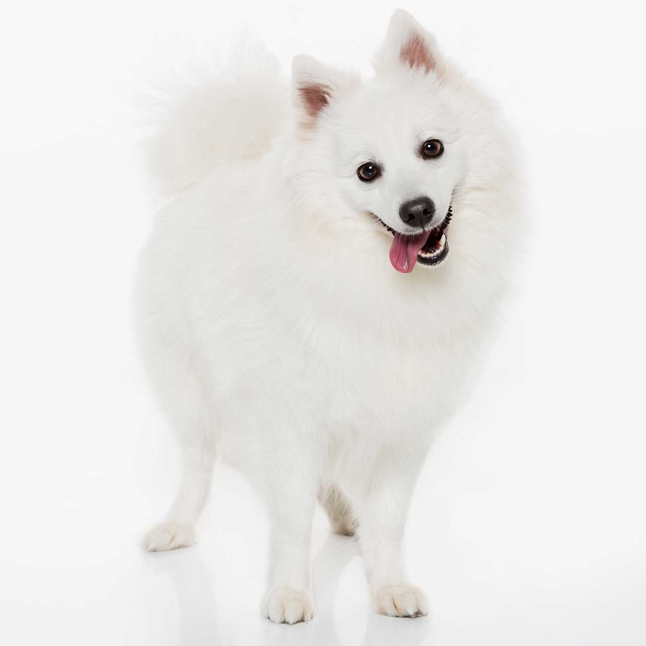 Japanese Spitz Dog Breed 187 Everything About Japanese Spitz